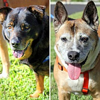 Akita Mix Dog for adoption in Ft. Lauderdale, Florida - Hershey & Snickers