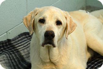 Labrador Retriever Mix Dog for adoption in Muskegon, Michigan - Milo