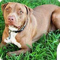 Adopt A Pet :: Charlie - Gilbert, AZ