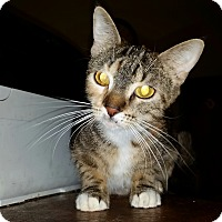 Domestic Shorthair Cat for adoption in Orlando-Kissimmee, Florida - Lucky