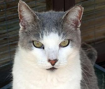 Domestic Shorthair Cat for adoption in Palm City, Florida - Molly