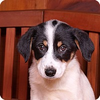 Adopt A Pet :: Lindsey - Sudbury, MA