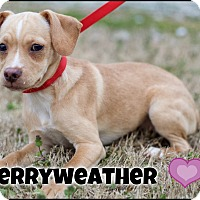 Adopt A Pet :: Merryweather (POM) - Washington, DC