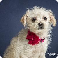 Adopt A Pet :: Star - Chandler, AZ