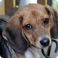 Beagle Mix Dog for adoption in Wayne, New Jersey - Sawyer
