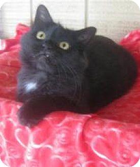 Domestic Longhair Cat for adoption in Bloomsburg, Pennsylvania - Savannah