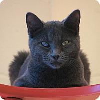 Domestic Mediumhair Cat for adoption in Boston, Massachusetts - PIGEON