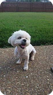 Shih Tzu/Maltese Mix Dog for adoption in Columbia, Tennessee - Xavier-CP