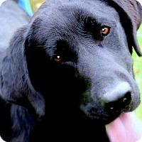 Adopt A Pet :: SHILO(GORGEOUS PB LABRADOR!! - Wakefield, RI