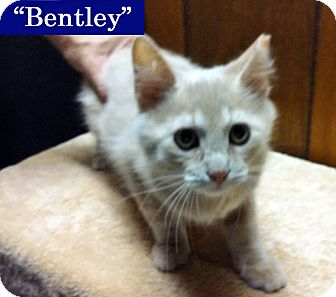Domestic Shorthair Kitten for adoption in Irwin, Pennsylvania - Bentley