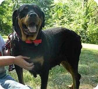 Rottweiler Dog for adoption in Coopersburg, Pennsylvania - Heather