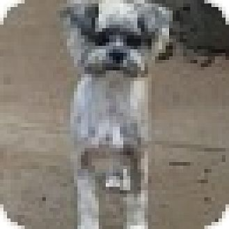 Terrier (Unknown Type, Small) Mix Dog for adoption in Springfield, Virginia - Elvis
