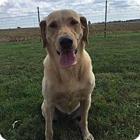 Labrador Retriever Dog for adoption in Russellville, Kentucky - Nelly