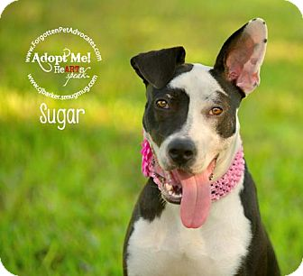 Border Collie/Pointer Mix Dog for adoption in Pearland, Texas - Sugar