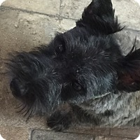 Cairn Terrier Dog for adoption in Crystal River, Florida - NEO