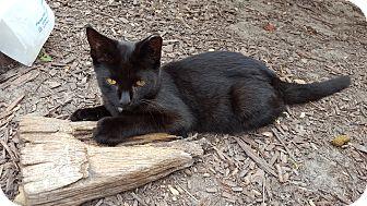 Domestic Mediumhair Cat for adoption in Virginia Beach, Virginia - James Bond