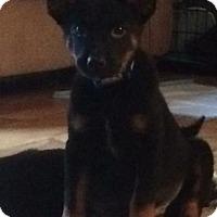 Adopt A Pet :: Behr - Little Rock, AR
