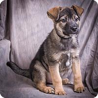 Adopt A Pet :: CAESAR - Anna, IL