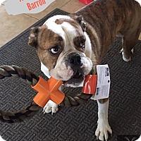 English Bulldog Dog for adoption in Phoenix, Arizona - Barron