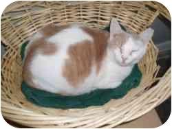 Domestic Shorthair Cat for adoption in North Boston, New York - Heidi