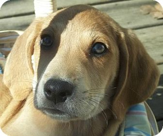 Black and Tan Coonhound/Hound (Unknown Type) Mix Puppy for adoption in Conway, Arkansas - Wiggles