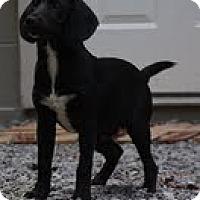 Adopt A Pet :: Ringo ($50 off!) - Staunton, VA