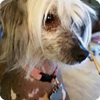 Adopt A Pet :: Dolce - Elkhart, IN