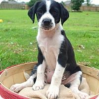 Adopt A Pet :: *Miz Ritz - PENDING - Westport, CT