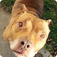 Adopt A Pet :: Abrams - Dayton, OH