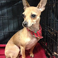 Chihuahua Mix Dog for adoption in Bedford, Texas - Peanut