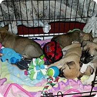 Adopt A Pet :: Akita Litter - Santa Rosa, CA