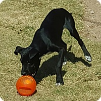 Beagle/Labrador Retriever Mix Dog for adoption in Las Cruces, New Mexico - Bruiser