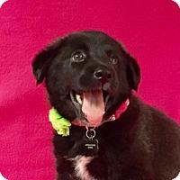 Adopt A Pet :: Shebah - Alta Loma, CA