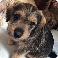 Adopt A Pet :: Miercoles - Fort Collins, CO