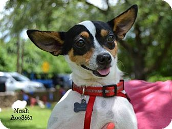 Chihuahua/Rat Terrier Mix Dog for adoption in Conroe, Texas - Noah