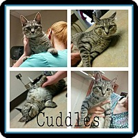 Adopt A Pet :: Cuddles - Steger, IL