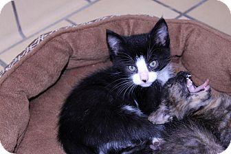 Domestic Mediumhair Kitten for adoption in Lumberton, North Carolina - Tripper