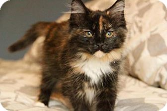 Domestic Longhair Kitten for adoption in Shakopee, Minnesota - Sugar C1527