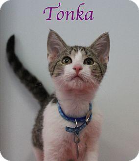 Domestic Shorthair Kitten for adoption in Bradenton, Florida - Tonka