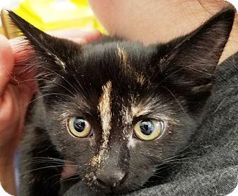 Domestic Longhair Kitten for adoption in Kalamazoo, Michigan - Boo