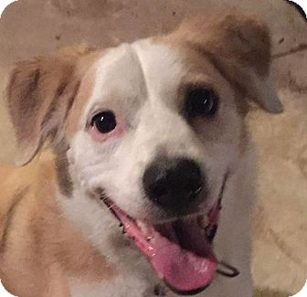 Border Collie Mix Dog for adoption in St Louis, Missouri - Tanner
