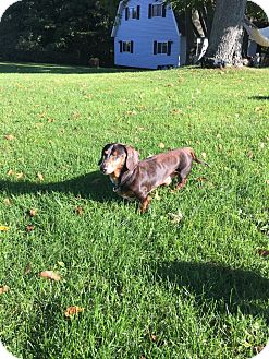 Dachshund Mix Dog for adoption in Marcellus, Michigan - Winston-Adoption Pending
