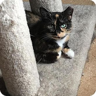 Calico Cat for adoption in St. Paul, Minnesota - Joon