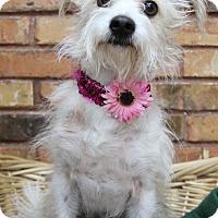 Adopt A Pet :: Penelope - Benbrook, TX