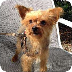 Yorkie, Yorkshire Terrier Mix Dog for adoption in The Villages, Florida - Cesar