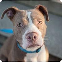 Adopt A Pet :: Lulu - Reisterstown, MD