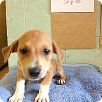 Adopt A Pet :: Skip-Bo - River Falls, WI