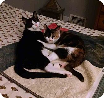 Domestic Shorthair Cat for adoption in Gaithersburg, Maryland - Autumn