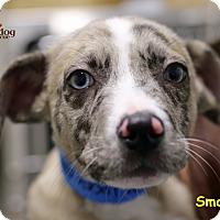 Adopt A Pet :: Smalley - Alpharetta, GA