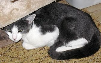 Domestic Shorthair Cat for adoption in Stanhope, New Jersey - Carl